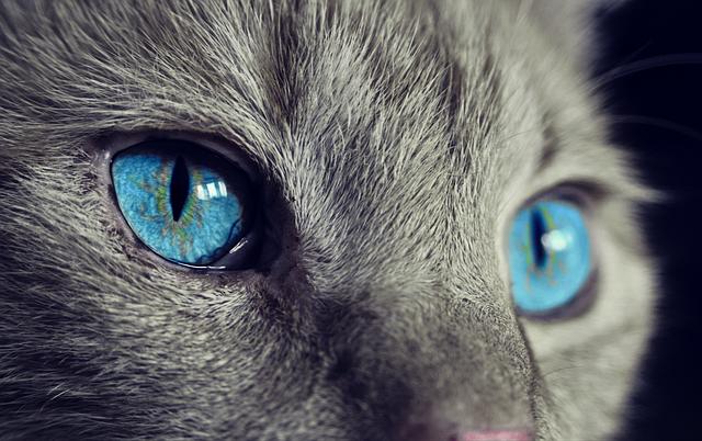 Die Britisch Kurzhaar Katze