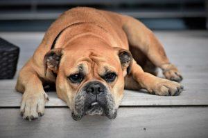 Erbrechen beim Hund - bei Müdigkeit zum Tierarzt