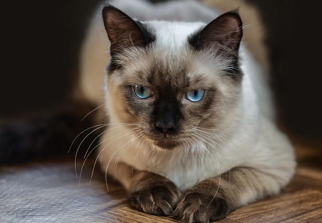 Ragdoll Katze – eine Kurzübersicht