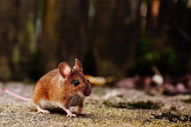 Wie werde ich Mäuse los?